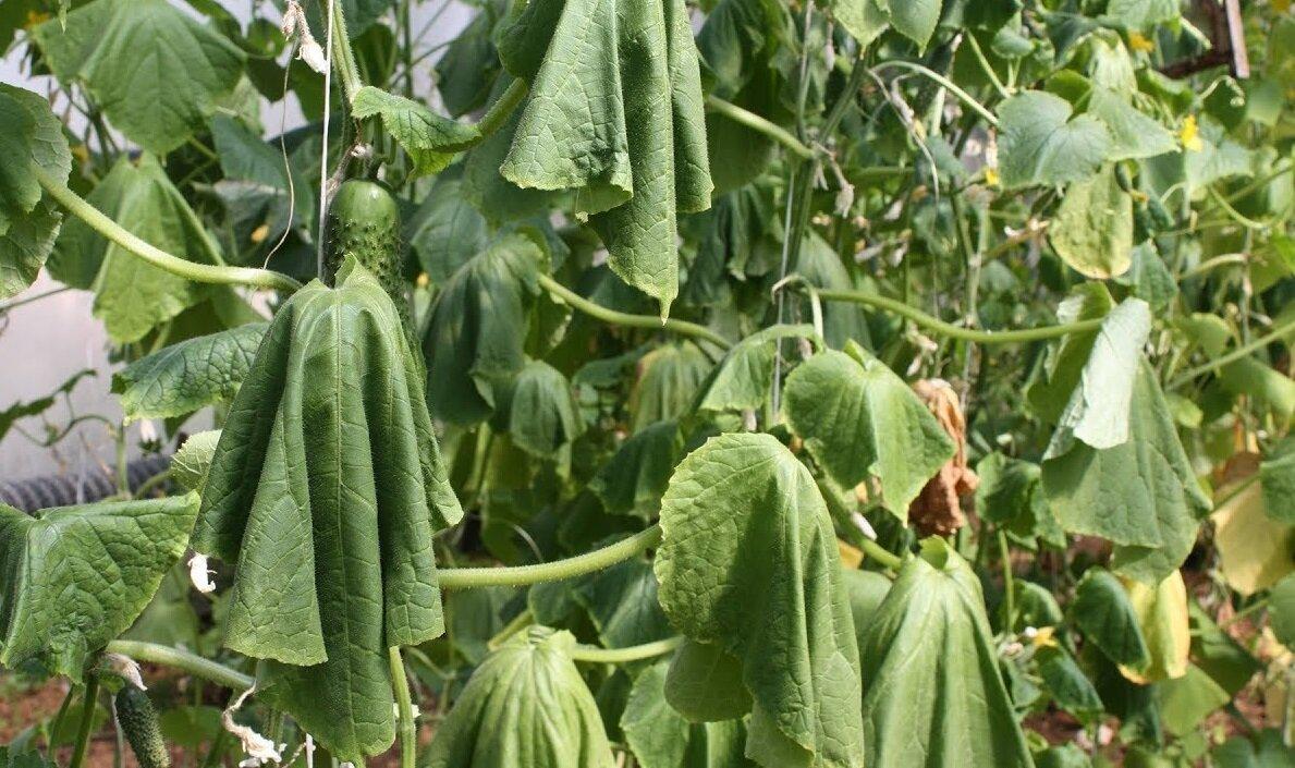 Листья огурцов начинают вянуть и сохнуть. Как их можно реанимировать и собирать урожай до начала холодов