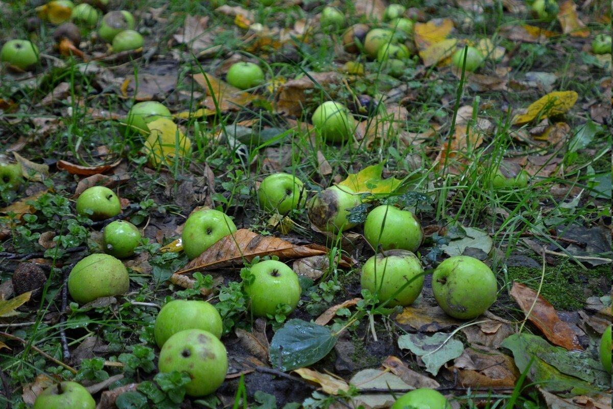 Почему с дерева опадают не созревшие яблоки и что нужно делать