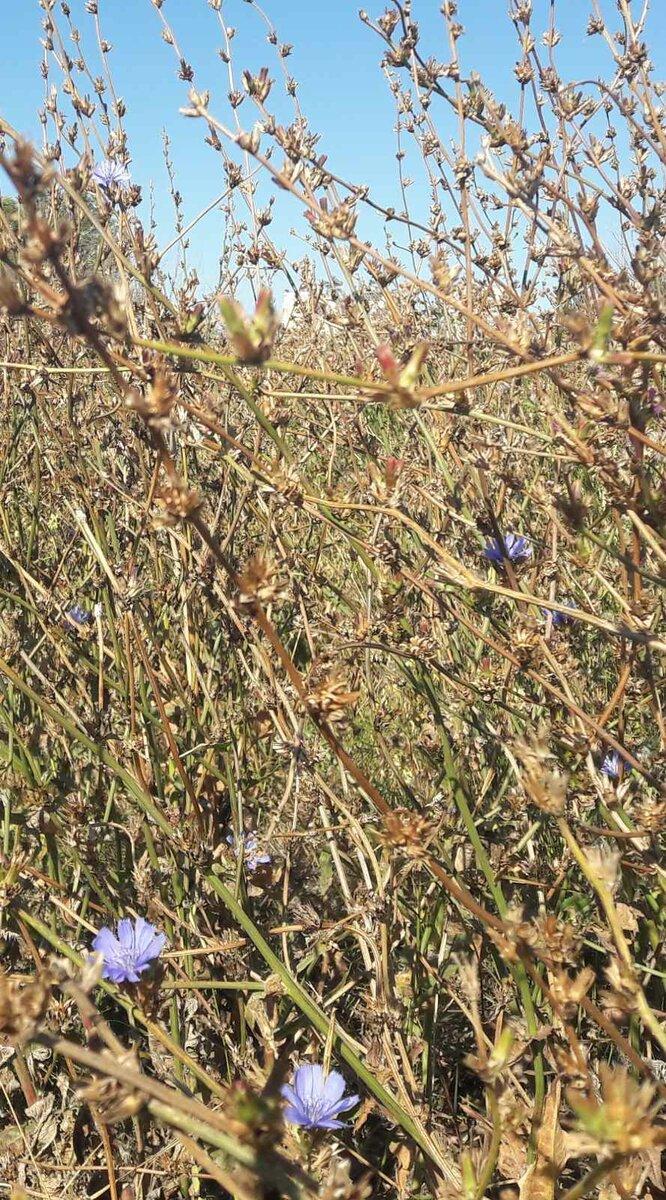 Сентябрьский цикорий в оренбургской степи. Фото Инны Ломанцовой.
