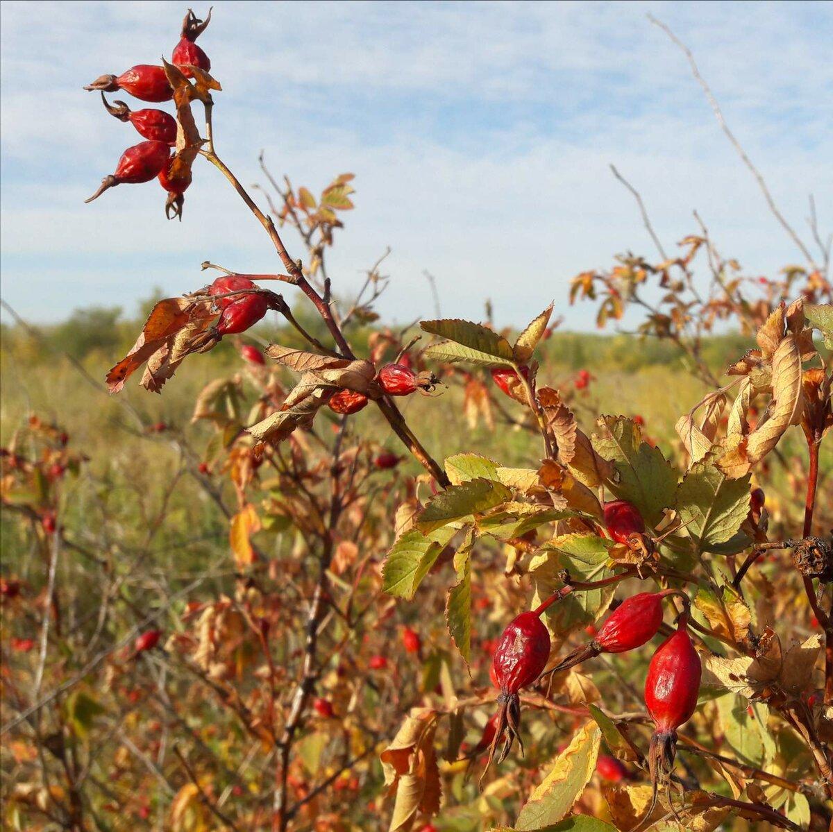 У нас в оренбургской степи растут разные сорта шиповника и все они как лекарственное сырье ценные. Фото Инны Ломанцовой.